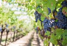 grappe-raisins-vignoble-vendanges